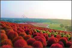 EXPLORE FP: Hitachi Seaside Park (Enigma911) Tags: color colour japan nikon colours   wonderland  fp 2009 d300     nikkor18200 kochia kochiascoparia ibarakiprefecture explorefp summercypress hitachikaihinkoen