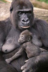 Baby & Mother Gorilla (Foto Martien (thanks for over 2.000.000 views)) Tags: nwashi gorillababy babygorilla girl meisje female vrouwtje babywesternlowlandgorilla mom mother moeder ma ngayla westernlowlandgorilla westerngorilla lowlandgorilla westelijkelaaglandgorilla westelijkegorilla laaglandgorilla gorillagorillagorilla zilverrug ape monkey aap midwestafrica souternnigeria angola cameroon centralafricanrepublic congo democraticrepublicofcongo equatorialguinea gabon tropicalrainforest congoriver burgerszoo burgersdierenpark burgers zoo dierenpark dierentuin arnhem veluwe gelderland netherlands nederland holland dutch sonyalpha350 a350 sonyg70300ssm martienuiterweerd martienarnhem