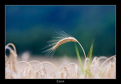 Arc (nune) Tags: nature field ilovenature austria corn bokeh graz 2009 breathtaking blueribbonwinner supershot superaplus aplusphoto eliteimages platinumheartaward breathtakinggoldaward breathtakinghalloffame