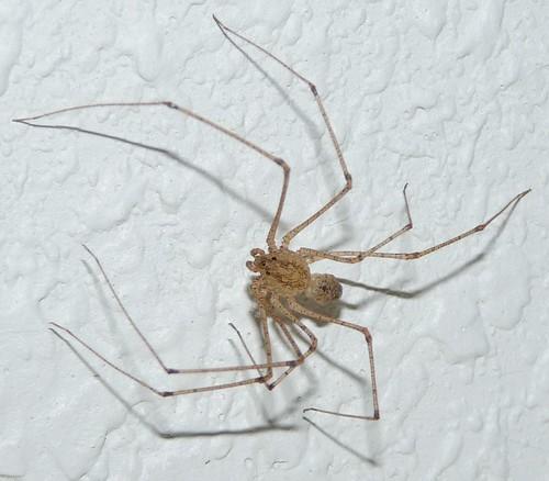 louisiana spider species photos