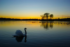 Swan Loch (David Alexander Elder) Tags: uk sunset nature beautiful landscape scotland swan unitedkingdom awesome escocia best loch nationalgeographic schottland schotland ecosse scozia skotlanti skotland newvision     skotsko    worldwidelandscapes kotska kotija   flickraward eskosya peregrino27newvision