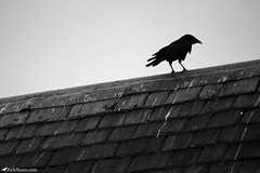 Crow (Rick Nunn) Tags: roof bird london rick hydepark crow raven nunn canonef135mmf2l watchingoverus vsortpop