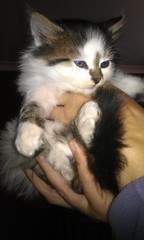 New Kitten! (Sharpeys Snaps) Tags: cute animals hug kitten critter warmth fluffy s desire htc flickroid