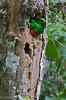Pharomachrus auriceps (Primeval Nature) Tags: male green bird southamerica birds ecuador nest andes jag andean nesting quetzal peering redandgreen trogon mindo pichincha pharomachrusauriceps goldenheadedquetzal quetzals trogonidae