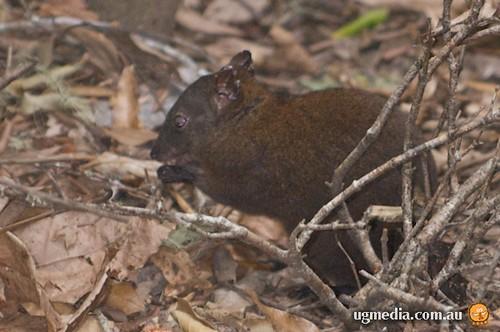 Musky rat-kangaroo (Hypsiprymnodon moschatus)