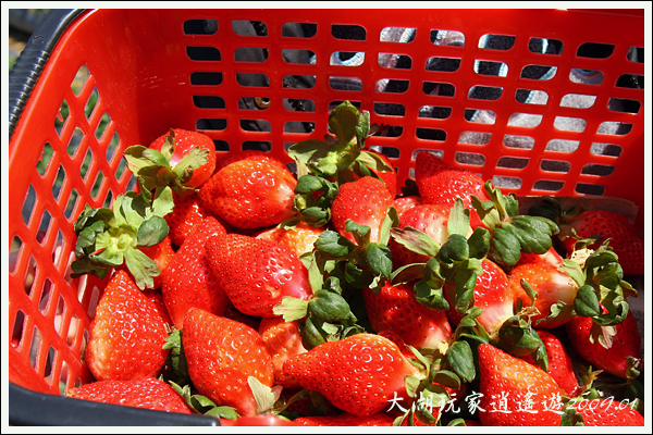 090117_08_採草莓