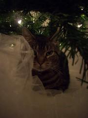 Bob the Cat Prowler (courtneysmilestoo) Tags: christmas tree animal cat