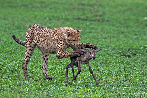 indian animals of leopard hunting photos