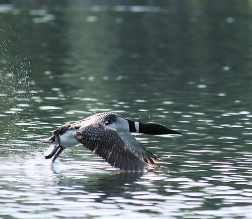 common loon taking off