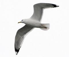 Yellow-legged Gull; Larus cachinnans (phenolog) Tags: bird ukraine laridae charadriiformes laruscachinnans yellowleggedgull