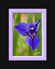 Iris (shuttergurls) Tags: pictureperfect anawesomeshot thebestgallery monkeyawards passionphotographyithinkthisisartawardcherryontopphotographyanawesomeshotgoldstarawardartofimagesphoddstica469photographerheartawardgrouptheunforgettablepicturescrystalawardrubyphotographerpictureperfecttheperfectphoto