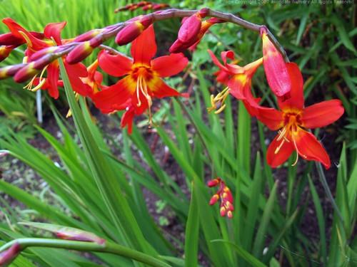 CROCOSMIA x crocosmiiflora 'Mephistopheles'