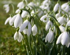 Brodsworth Hall Snowdrops (Theresa Elvin) Tags: flowers winter white macro spring best snowdrops bestofthebest doncaster brodsworthhall mywinners abigfave excellentsflowers
