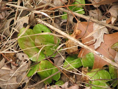garden sorrel