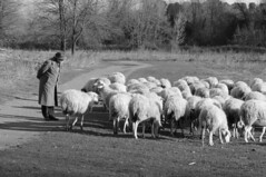 The intellectual (marco zeppetella) Tags: life roma rural italia sheep orwell marco intellectual borderline pecore animalfarm pasolini poussin ovejas urbanfarm corot tuscolano caffarella intellettuale carlolevi intellectuel zeppetella ofstreet romafuggitiva