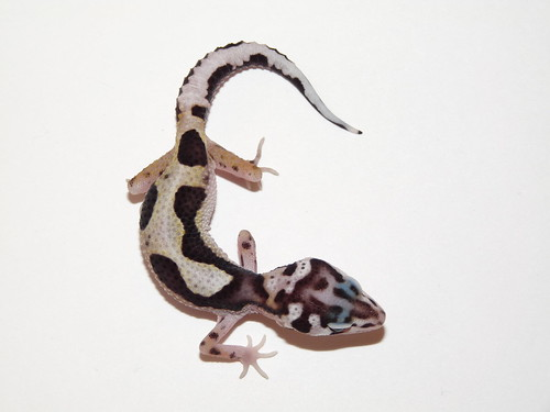 Mack Snow Jungle Stripe Tail het Tremper Leopard Gecko