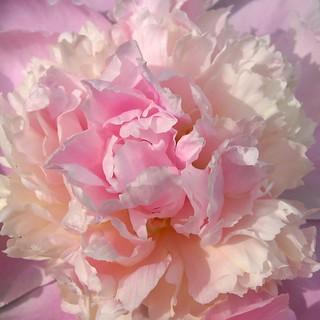 Pink Peony 芍藥