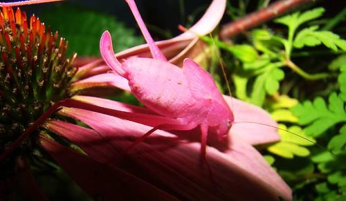 The Famous Pink Katydid