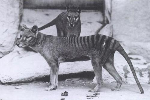 Thylacines 01 (Wiki)