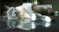 Powders Reflection (FurBabyLuv *Finally back Online) Tags: reflection cat snowshoe mix siamese powder 100views mittens bluepoint catmoments bestofspecialpetportraits
