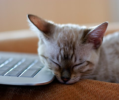 pickle snoozes on the keyboard