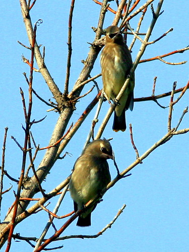 Cedar Waxwing Fledglings 20090806