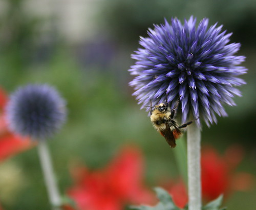 Blue Globe Thistle & Hitchhiker