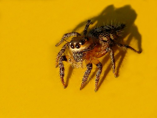 Jumping Spider  (IMG_5728R)