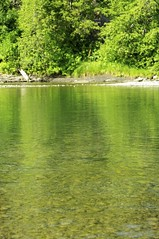 Can you see all the Pink and Chinook salmon in the river?