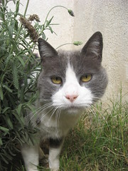 Félix :) (Lolita *) Tags: portrait pet white verde green blanco grass wall cat garden pared grey gris felix jardin patio pasto gato mascota lavanda