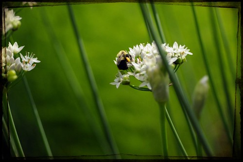 In the Stillness of the Garlic Chives