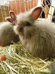 ain't I pwetty? (ixchelbunny) Tags: bunnies rabbits angora ixchel
