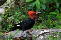 Campephilus magellanicus (gastonCc) Tags: chile patagonia birds woodpecker aves torresdelpaine magallanes carpintero parquenacionaltorresdelpaine avesdechile campephilusmagellanicus magellanicwoodpecker carpinteronegro