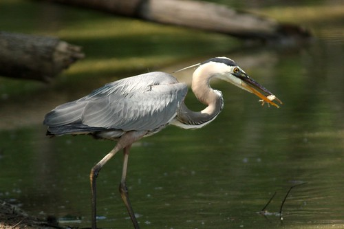 Great Blue Heron - 6/11/2009