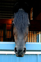Hello there. (Fueled by Photography.) Tags: horses horse black barn photography blackhawk equine friesian dressage