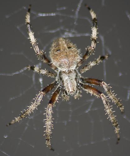 Barn Spider Iowa Voice