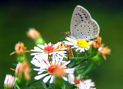 ASTER (floridapfe) Tags: animal butterfly zoo nikon aster everland kore vosplusbellesphotos