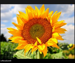 "Sun Flower ("""" Arun) Tags: trip travel flowers summer vacation usa flower nature water fun nationalpark nikon spokane best sunflower discovery arun wasington awesomeshot d90 artofnature nikond90 brillianteyejewel awesomescenery brilliantphotography fabulousflicks elitephotgraphy artofimages saariysqualitypictures flickrmasterpieces capturethefinest veryimportantphotos"