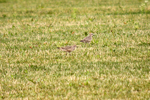 American Golden Plovers