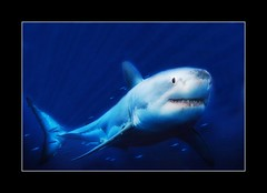 Shark (janetfo747) Tags: blue fish nature water smile aquarium bay shark monterey big nikon niceshot teeth montereybayaquarium explore huge predator picnik greatwhite potofgold cleanerfish pilotfish d80 flickrsilver nikond80 platinumheart explorewinnersoftheworld yourarthastouchedtheworld universalelite nikonflickrawardgold andromeda50 andromeda5010 superorderselachimorpha platinumpeace thebestofcengizsqueeze bestofwildlifeawardgroup vividstrikinghalloffame naturesgoldaward platinumplanet theamazingphotogroup5 flivergold planetphoto5 beautiful12 nikonflickrawardplatinum mygearandmepremium mygearandmebronze mygearandmesilver mygearandmegold mygearandmeplatinum mygearandmediamond artistoftheyearlevel3 artistoftheyearlevel4 aboveandbeyondlevel4 aboveandbeyondlevel1 flickrstruereflection1 flickrstruereflection2 flickrstruereflection3 flickrstruereflection4 aboveandbeyondlevel2 aboveandbeyondlevel3