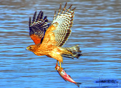 Red-shouldered Hawk Fishing...Yet Another Crop (ozoni11) Tags: fish nature animal animals fishing nikon searchthebest hawk raptor predator raptors redshoulderedhawk hawks predators columbiamaryland lakekittamaqundi michaeloberman ozoni11