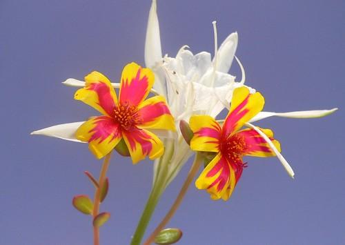 Summer flowers (Portulaca and Pancratium maritimum)
