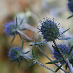 Sea Holly (Misty Jane) Tags: plant nature garden eryngium seaholly abigfave