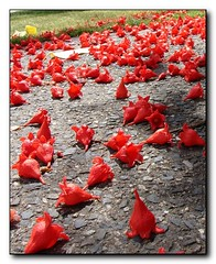 'Flame' flowers on the ground - little red hat...