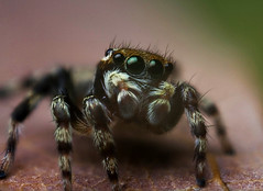 What are you looking at (mj_stevo) Tags: macro canon spider jumping d explore 350 jumper salticidae explored hypoblemum