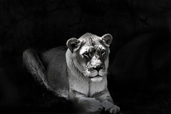 Staying power (V. Sharma) Tags: wallpaper toronto standing grit cool nikon heart lion tolerance will resolution strength enduring suffering moxie lioness submission coolness resistance guts patience backbone tenacity perseverance courage fortitude bearing spunk ability persistence restraint resignation undergoing capacity starch pluck d60 allowance vitality continuing pertinacity stamina withstanding toleration sufferance holdingup intestinalfortitude mettle forebearance gutsiness