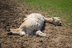 alpaca (abbsworth) Tags: alpaca pennsylvania flopped landoflittlehorses