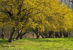 (Repisk Mt) Tags: wood tree yellow forest spring woods nikon hungary blossom coolpix bloom fa tavasz virg p90 gyula magyarorszg srga erd virgzik nikonp90