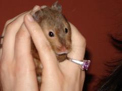Prudie (bleudreams) Tags: hamsters smallanimals