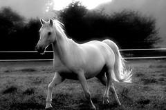 Running horse (Torsten Reuschling) Tags: light bw whitehorse galope anawesomeshot